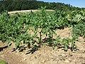 Amaranthus albus sl50.jpg