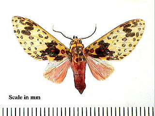 <i>Amaxia</i> genus of insects