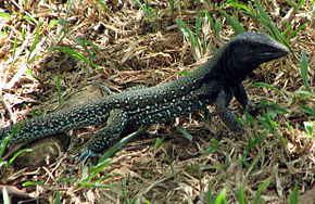 Description de l'image Ameiva atrigularis.jpg.