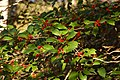 American Holly Ilex opaca Branch 3008px.jpg