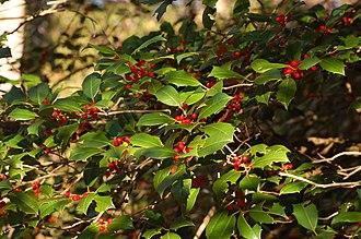 Ilex opaca - Branch full of ripe fruit