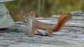 American Red Squirrel (Tamiasciurus hudsonicus) - Gatineau Park, Quebec.jpg