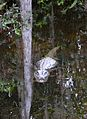 American alligator Big Cypress National Preserve 1.jpg