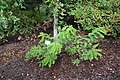 Amorpha fruticosa 2019 09 21 Kumpula 0091.jpg