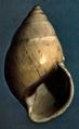 Amphidromus similis shell.png