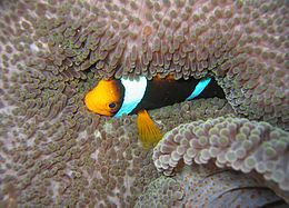 Amphiprion chrysopterus.jpg