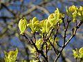 Amur Maple flower buds, Armstrong Park.jpg