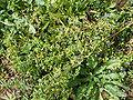 Anagallis arvensis (Puntallana) 01 ies.jpg