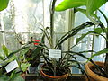 Ananas sagenaria - Botanical Garden in Kaisaniemi, Helsinki - DSC03628.JPG