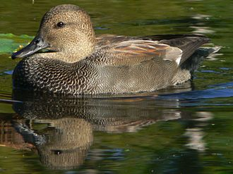 Washington Park Arboretum - Gadwalls and other waterfowl feed in the park