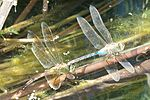 Anax junius-Laying eggs-3.jpg