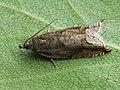 Ancylis uncella (41215060352).jpg