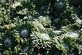 Androsace sarmentosa Botvrt PMF 1008.jpg