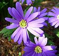 Anemone blanda - Flickr - gailhampshire.jpg