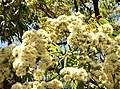 Angophora floribunda - inflorescence.jpg