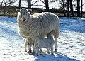 Another view of ewe with lambs - geograph.org.uk - 550970.jpg
