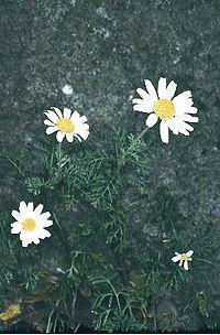 Anthemis ismelia