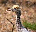 Anthropoides virgo chick at Twycross Zoo-4.jpg