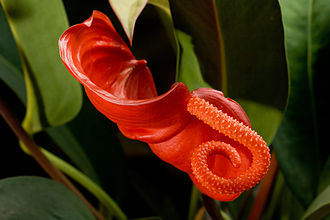 Bract - Anthurium scherzerianum inflorescence with spathe and spadix