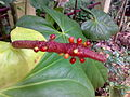 Anthurium with seeds.jpg