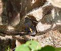 Aphanus rolandri . Lygaeidae - Flickr - gailhampshire.jpg