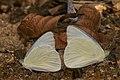 Appias albina-Aralam-2016-10-29-001.jpg