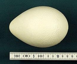 Aptenodytes forsteri egg hg.jpg