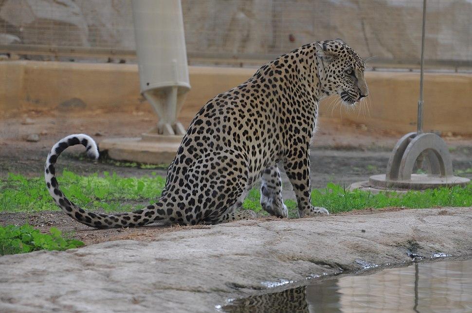 Arabian Leopard Nimr (8454247265)