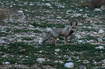 Arabian Red Fox picture taken in Al Sukhnah, J...