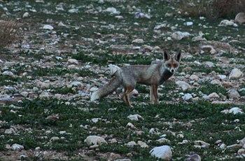Arabian Red Fox picture taken in Al Sukhnah, J...