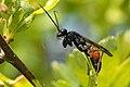 Arachnospila.fumipennis.-.lindsey.jpg