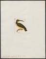 Arachnothera crassirostris - 1820-1860 - Print - Iconographia Zoologica - Special Collections University of Amsterdam - UBA01 IZ19000133.tif