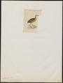 Aramides mangle - 1820-1863 - Print - Iconographia Zoologica - Special Collections University of Amsterdam - UBA01 IZ17500041.tif