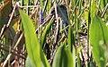 Aramus guarauna (Limpkin) 38.jpg
