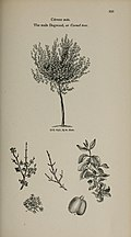 Arboretum et fruticetum britannicum, or - The trees and shrubs of Britain, native and foreign, hardy and half-hardy, pictorially and botanically delineated, and scientifically and popularly described (14597321810).jpg