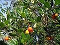 Arbutus unedo (fruits and flowers).jpg