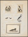 Arctica alle - 1700-1880 - Print - Iconographia Zoologica - Special Collections University of Amsterdam - UBA01 IZ17800323.tif