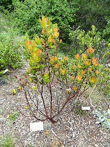 Arctostaphylos andersonii - University of California Botanical Garden - DSC09039.JPG
