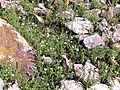 Arenaria montana Habitus 2011-5-07 SierraMadrona.jpg
