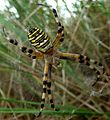 Argiope bruennichi. Female - Flickr - gailhampshire.jpg
