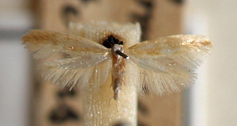 File:Argyresthia.aurulentella.mounted.jpg