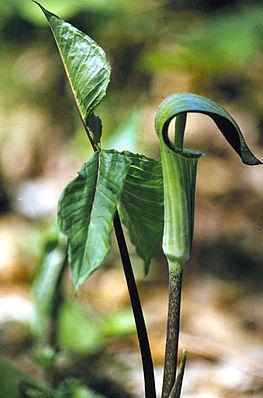 Dreiblättriger Feuerkolben (Arisaema triphyllum)