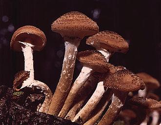 Armillaria ostoyae - Image: Armillaria ostoyae