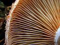 Armillaria ostoyae DSCF5993.jpg
