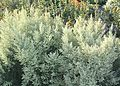 Artemisia afra - Wildeals - medicinal plants of Cape Town 2.jpg