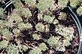 Artemisia schmidtiana Nana 0zz.jpg