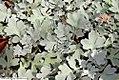 Artemisia stelleriana Silver Cascade 1zz.jpg