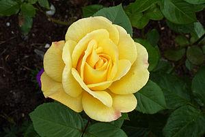Rosa 'Arthur Bell' - Close-up of flower