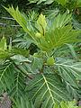 Artocarpus altilis (4).JPG