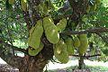 Artocarpus heterophyllus (Jackfruit) (28258398324).jpg